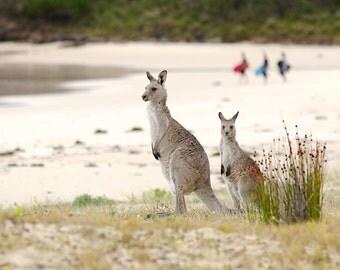 Surf Check, Australia Beach Photos, Beach photos, Kangaroos Photos, Australian Beach print, Kangaroo beach print, Kangaroo Prints, Wildlife