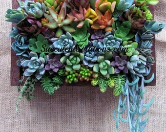 """Succulents in a 8"""" X 8"""" frame makes a colorful and dramatic wall hanging"""