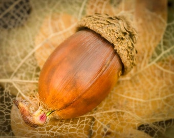 Acorn: 8x10 nature photography fine art photo. Available in square sizes on canvas, pearl or metallic paper.