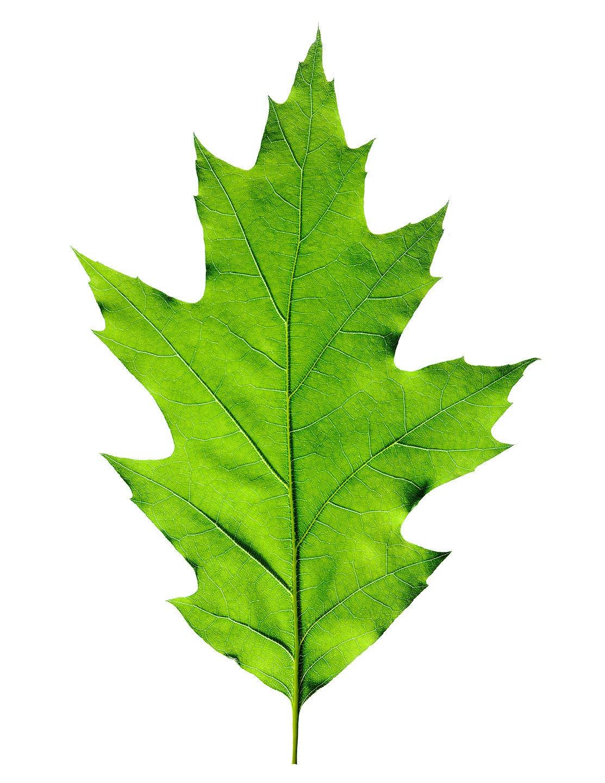 Red Oak Leaf ~ Red oak leaf