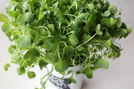 how to grow hydroponic herbs in mason jars