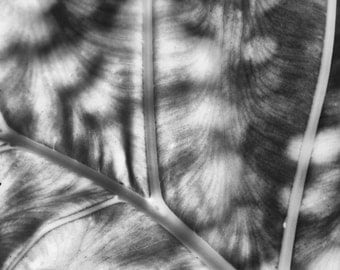 Black and White Palm Leaf with Veins, Square, Palm Vegetation