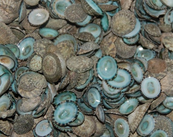 1/4 Pound  Green Limpet shells (200+ Shells)