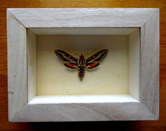 Real Hyles Livornica Framed - Taxidermy - Home Decoration - Collectibles