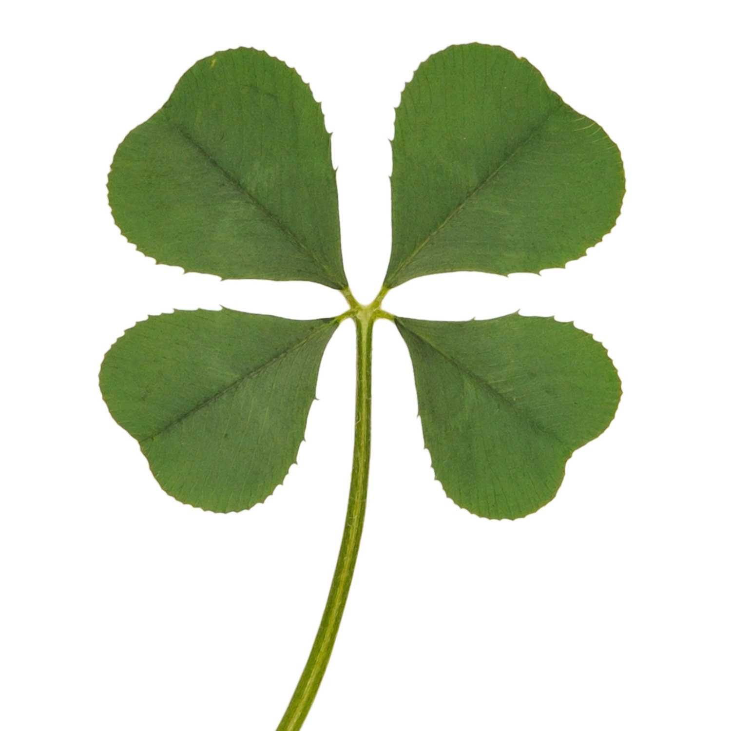 wholesale 5 pcs genuine real 4 four leaf clover green irish