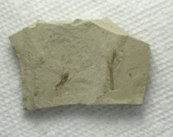 Fossil Cricket from Utah