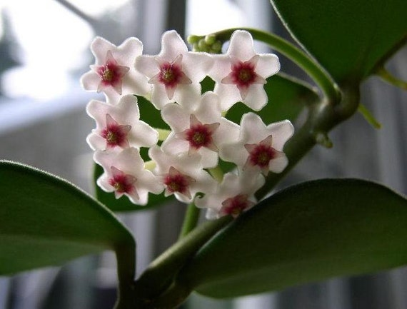 rare hoya fragrant vining flowering wax plant indoor houseplant orchid companion tropical - Vining Flowers