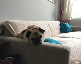 Sad and Tired Pug