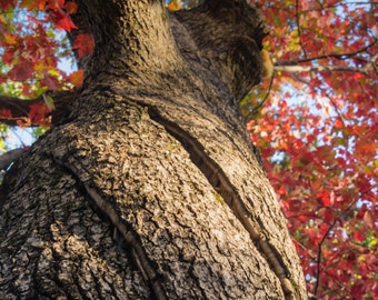 Twisted fall tree with slice in trunk. Fine Art Print