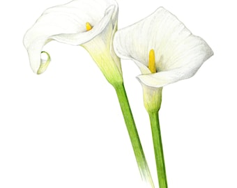Calla lilies - Archival print of my colored pencil drawing / giclée print / wall art