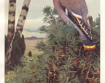 Bohemian waxwing original 1922 bird print - Ornithology, bombycilla - 93 years old German antique lithograph illustration (A128)