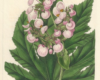 Parsnip-Leaved Begonia- Mexican native botanical engraving 1834