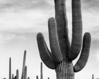 "Ansel Adams Photo ""Saguaro"" Arizona"