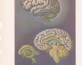 Vintage Human Anatomy Print Brain & Ear Color Illustration Book Plate