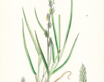 1902 British Botany Print - Common Rye Grass - Vintage Antique Sowerby Art Illustration Book Plate Landscaping Farming 100 Years Old