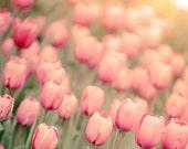 Photograph of Pink Tulips, flower photography, nature art prints, blush wall art, light, sage, floral home decor, haze, Spring wall decor