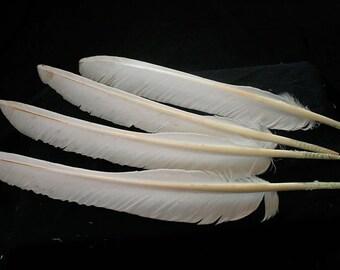 "x4 Flight Feathers - 8-9"",  White, Real Heritage Turkey -  meleagris gallopavo TF05832"
