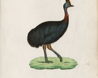 1854 Antique big BIRD print,  Cassowary