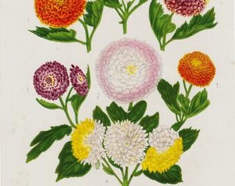 1863 Amazing antique CHRYSANTHEMUM lithograph, daisy, Autumn chrysanthemums, original antique botanical print