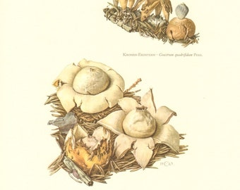 1963 Rayed Earthstar Geastrum quadrifidum and Rosy Earthstar Geastrum rufescens Vintage Offset Lithograph