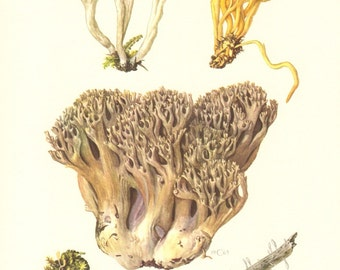 1963 Clavariaceae, Coral Fungi, Golden Spindles, Wrinkled Coral Fungus Vintage Offset Lithograph