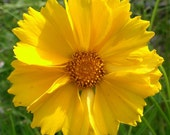 CLEARANCE SALE! Sunburst Coreopsis Water Wise Drought Tolerant Perennial Flowers Rare Easy to Grow Seeds