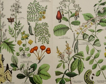 1880 Antique print of FLOWERS and PLANTS: Guaiacwood, Cashew tree, Alexandrian senna, Caesalpinia ... 137 years old gorgeous print.