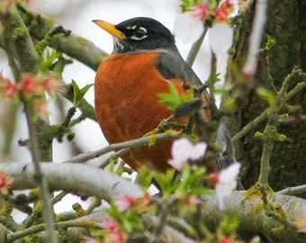 American Robin  bird photography, spring blossoms, nursery wall art print, nature photography, bird lover gift, robin red breast