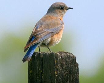 Bluebird Print, blue bird photography, nature photo, bird lover gift, country wall decor, fine art print
