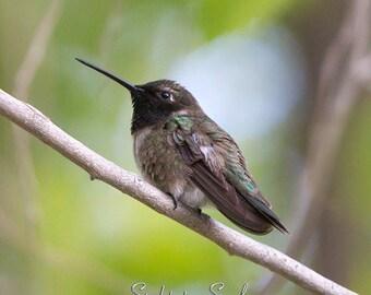 Gray Green Hummingbird Art, bird photography, nature wall art, woodland home décor, humming bird photo, fine art print