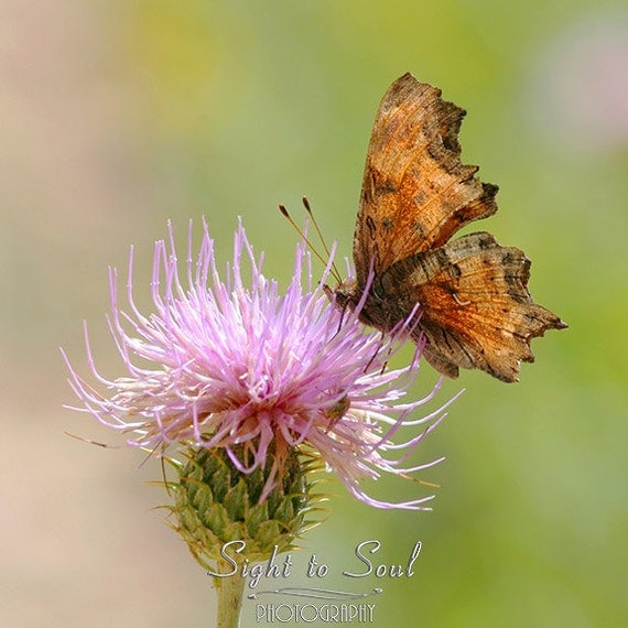 Brown Butterfly Photo, pink thistle flower, butterfly lover gifts under 20, nature photography, pastel decor, fine art print