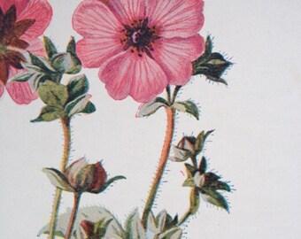 Antique print flowering plant crimson avens dryad evergreen botany flowers angiosperm lithograph chromolithograph
