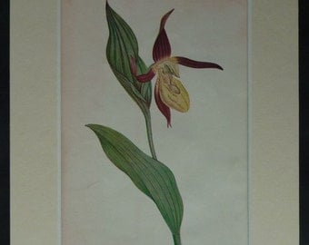 1920s Vintage Botanical Print of a Lady's Slipper Orchid Beautiful botany decor, antique wildflower art - Available Framed - Botanical Art