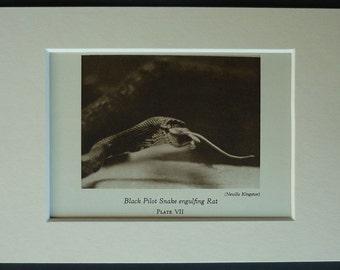 1930s Vintage Natural History Print of a Black Pilot Snake Eating a Rat Sepia zoological photography, retro reptile decor, Vintage Snake Art