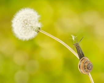 "Snail whimsical nature art 8x10 photo print of snail on dandelion titled ""Unsung Hero""."