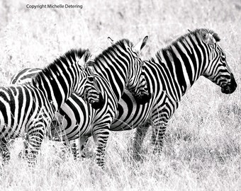 Zebra Family, Digital Photography, Zebra Art, Zebras, Black and White Zebras, Zebra Art Print, Safari Art, Zebra Decor, Wildlife Photography