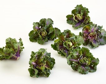 Snowdrop Hybrid Kalettes - 10 Seeds - New for 2015!
