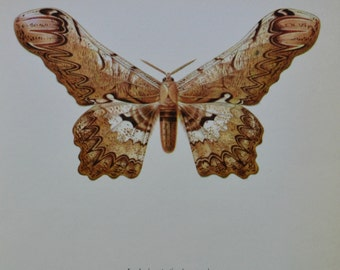 Serpent Moth. Loxolomia serpentina. Moth print. Vintage color  book plate. Old print. Butterflies. 1966. 8 x 10'1 inches . Butterfly print.