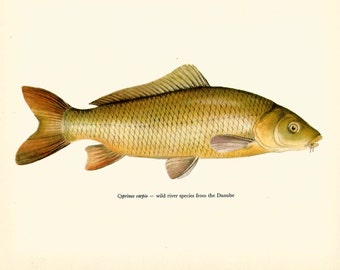 VINTAGE FISH Art PRINT The Common Carp Vintage 1972 Print Beautiful Home Decor Antique Gallery Wall Print (fwf 40)