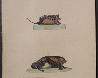 1833 Bats. Mulol Volant, Etrangeres. Antique Handcolored Lithograph: Original & Authentic. Natural History.
