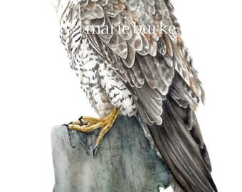 Peregrine Falcon - watercolour print, falcon, bird painting, fine art print, falcon print, falcon painting