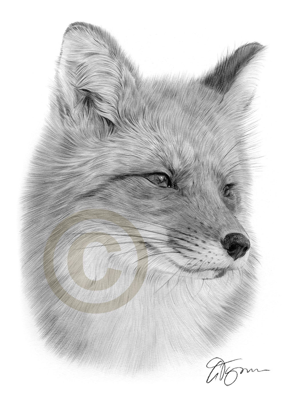 Portrait Of A Red Fox Pencil Drawing Print A4 Size Artwork