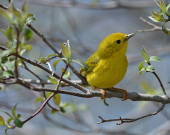 Yellow Warbler Photo Note Card with White Envelope, 4.25 x 5.5, blank inside, nature note card
