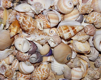 broken seashell etsy