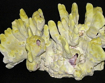 """Real Fire Slab Sea Coral Specimen~Millepopa Exaesa~ Length 9""""  Width 6""""  Height 6"""" Weight 2 lbs. ~ FREE SHIPPING ~"""