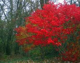 Burning Bush Shrub Seed, Euonymus alatus, Shrub Seeds