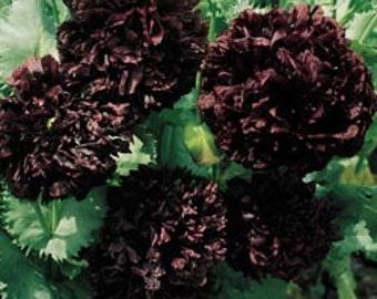 Poppy Black Paeony - Papaver Paeoniflorum - 300 Seeds