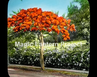 Royal Poinciana Tree and Night Blooming Cereus Hedge.  Vintage hand-colored photograph from Hawaii  ca 1900-20. FREE SHIPPING!