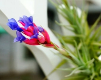 """Tillandsia Air Plants """" Bergeri """" by Joinflower Joinfolia"""
