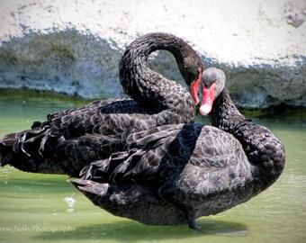 Black Swan Couple